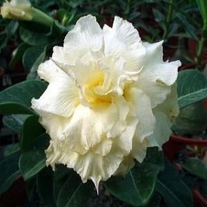 Adenium Obesum Triple Flower KO-29 (семена)