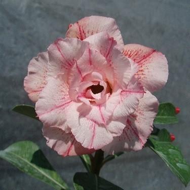 Adenium Obesum Triple Flower KO-05 (семена)