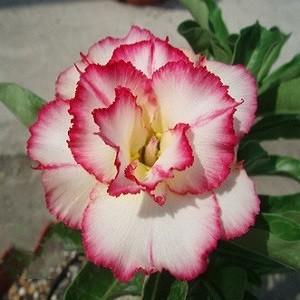 Adenium Obesum Triple Flower Delusion KO-16 (семена)