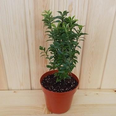Бересклет Японский (растение)