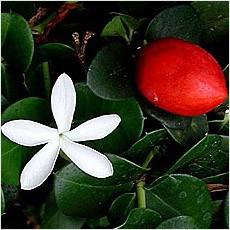 Карисса Крупноплодная (растение)