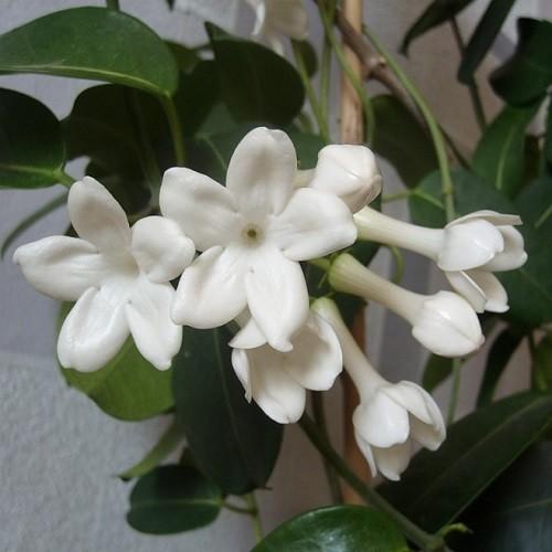 Стефанотис Обильноцветущий (растение)