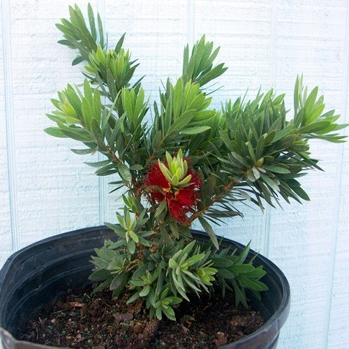 Каллистемон Лимонный (растение)