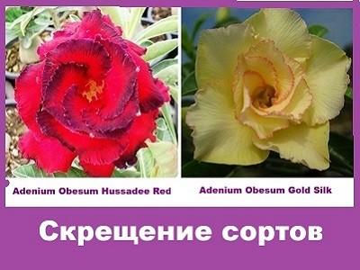 Adenium Obesum Hybrid Hussadee Red & Gold Silk