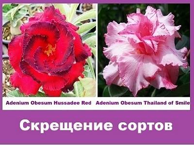 Adenium Obesum Hybrid Hussadee Red & Thailand of Smile