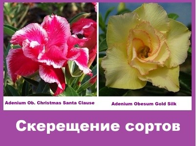 Adenium Obesum Hybrid Christmas Santa Clause & Gold Silk