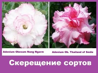 Adenium Obesum Hybrid Nang Ngarm & Thailand of Smile