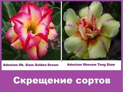 Adenium Obesum Hybrid Siam Golden Dream & Tong Siam