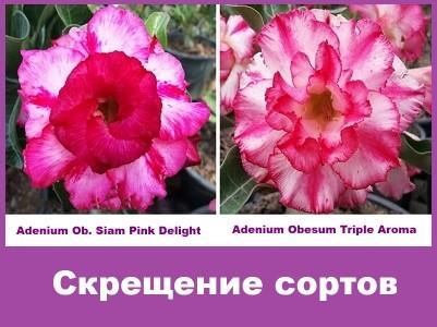 Adenium Obesum Hybrid Siam Pink Delight & Triple Aroma