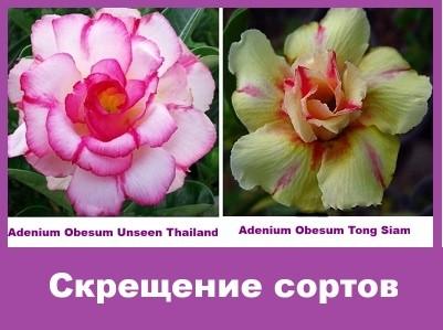 Adenium Obesum Hybrid Unseen Thailand & Tong Siam
