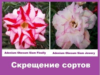 Adenium Obesum Hybrid Siam Finally & Siam Jewery
