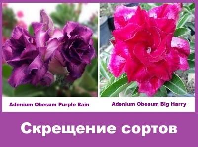 Adenium Obesum Hybrid Purple Rain & Big Harry