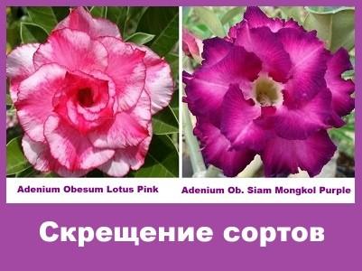 Adenium Obesum Hybrid Lotus Pink & Siam Mongkol Purple