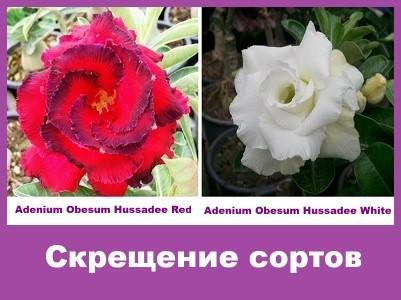 Adenium Obesum Hybrid Hussadee Red & Hussadee White