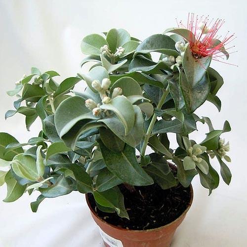 Метросидерос Томаса (растение)