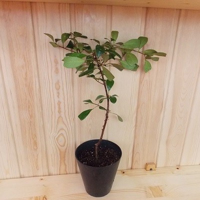 Фикус Язычковый (растение)