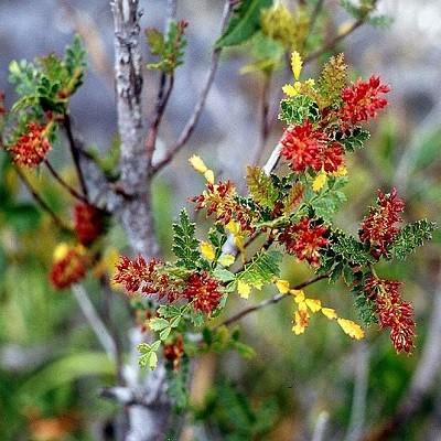 Weinmannia TRICHOSPERMA или Вейнманния Трехсемянная (семена)