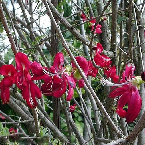 Cassia GRANDIS или Кассия Коралловая (семена)