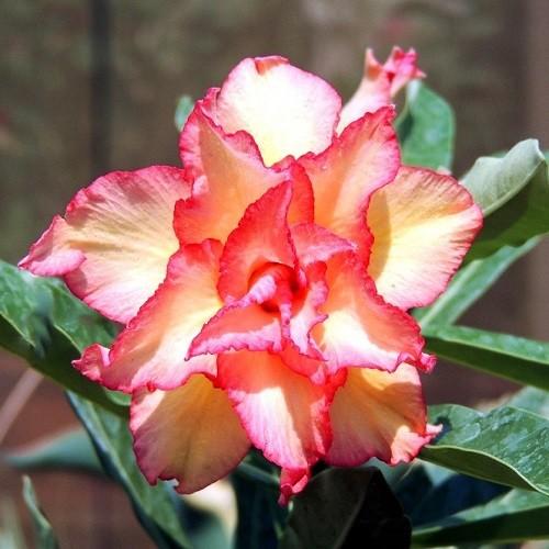 Adenium Obesum Triple Flower KO-63 (семена)