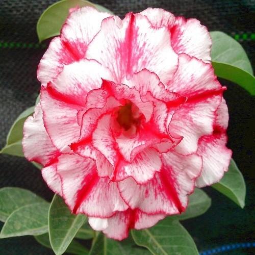 Adenium Obesum Triple Flower KO-66 (семена)