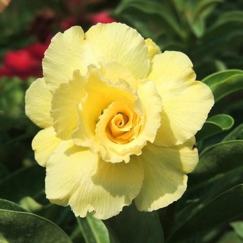 Adenium Obesum Triple Flower KO-55 (семена)