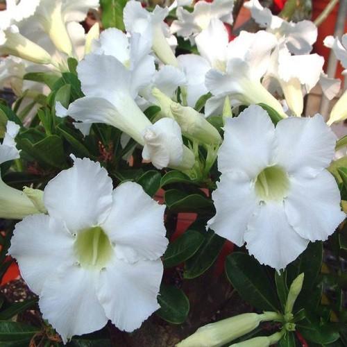 Adenium Obesum Desert Rose SPINDRIFT (семена)