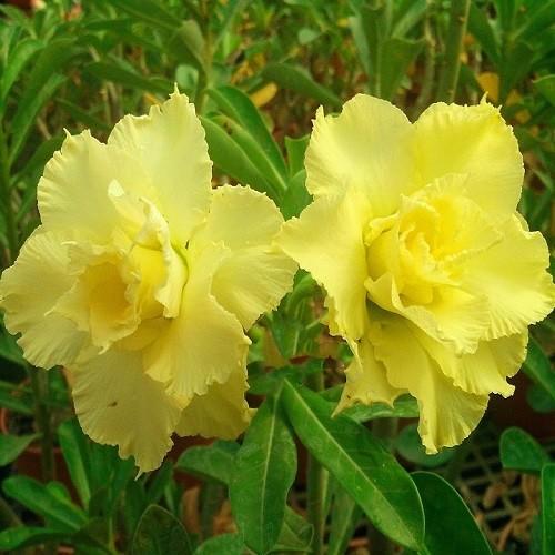 Adenium Obesum Triple Flower KO-60 (семена)