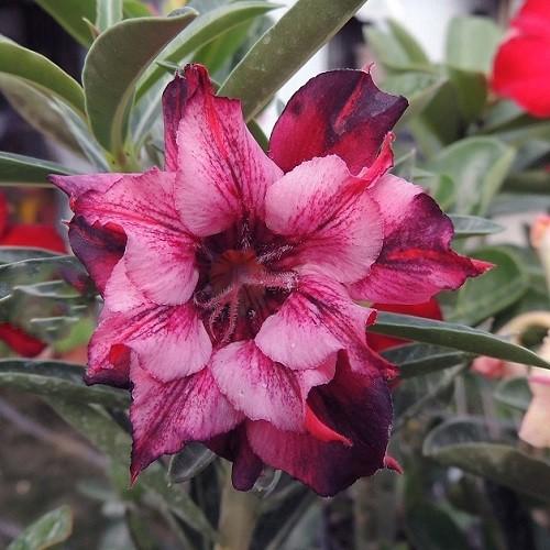 Adenium Obesum Triple Flower KO-54 (семена)