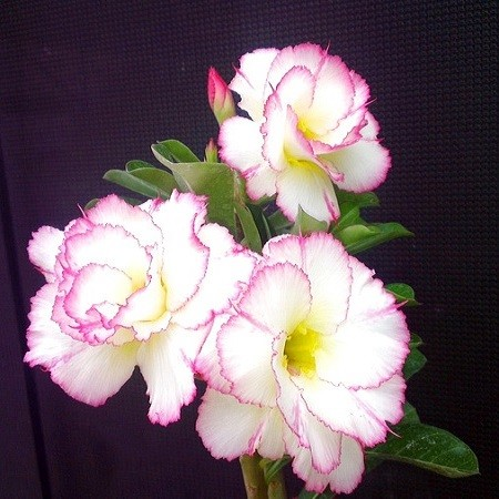 Adenium Obesum Triple Flower KO-68 (семена)