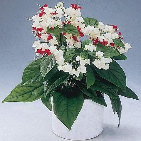 Клеродендрон Томпсона (растение)