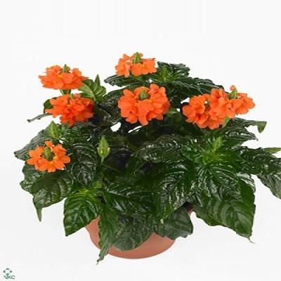 Кроссандра Воронковидная (растение)