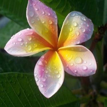 Plumeria IMPERIAL CROWN (семена)