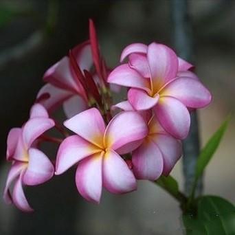 Plumeria SWEET NOOR