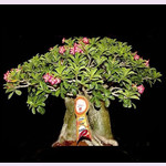 Adenium Thai Socotranum GOLDEN BELL (семена)