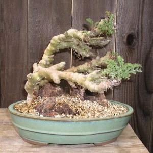 Pelargonium CARNOSUM или Пеларгония Бутылочная (семена)