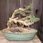 Pelargonium CARNOSUM или Пеларгония Бутылочная