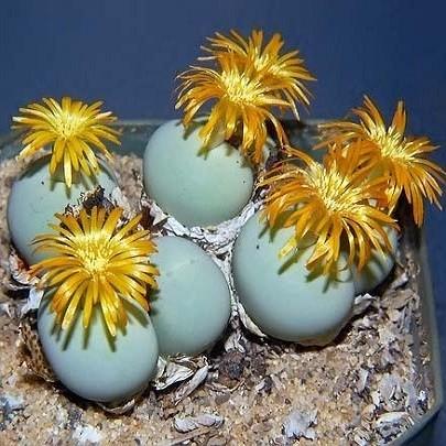 Conophytum CALCULUS или Конофитум Калкулус (семена)