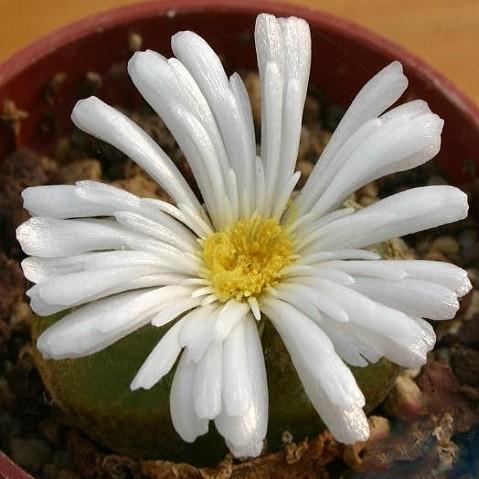 Ophthalmophyllum TRIEBNERI или Офтальмофиллум Требнера (семена)