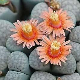 Lithops VERRUCULOSA или Литопс Бородавчатый (семена)