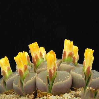 Lithops OLIVACEA или Литопс Оливковый (семена)