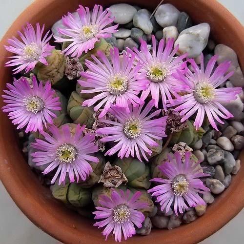 Gibbaeum HEATHII или Гиббеум Хита (семена)