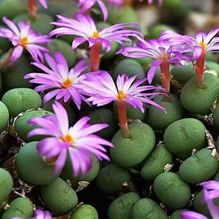 Conophytum MINUTUM или Конофитум Миниатюрный (семена)