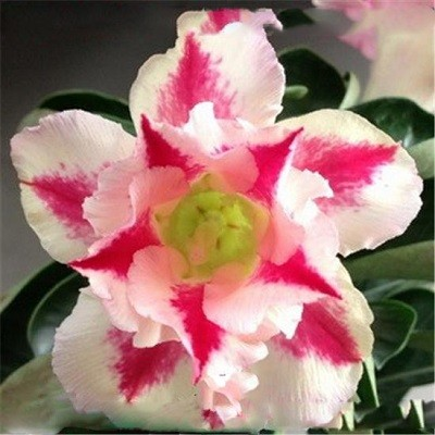 Adenium Obesum Double Flower NEW ROMANCE