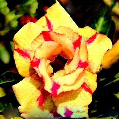 Adenium Obesum Double Flower YELLOW ERA
