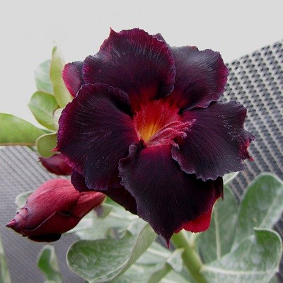 Adenium Obesum Double Flower KO-51 (семена)