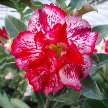 Adenium Obesum Double Flower KO-27 (семена)