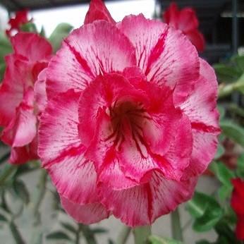 Adenium Obesum Double Flower KO-32 (семена)