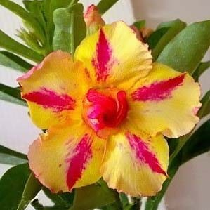 Adenium Obesum Double Flower MOON DUST (семена)
