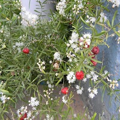 Asparagus RACEMOSUS или Аспарагус Кистевидный (семена)