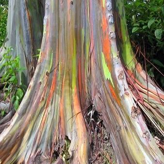 Eucalyptus DEGLUPTA или Эвкалипт Радужный
